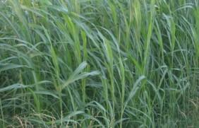 苏丹草的种植时间,苏丹草种植的步骤