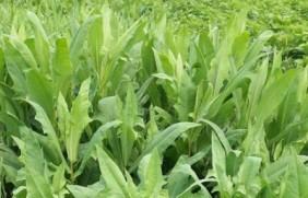 苦荬菜种植的时间,正确种植方法生长