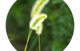 狗尾草种子