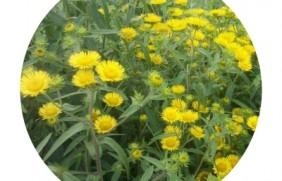 黄菊花种子