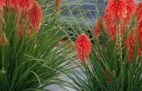 火炬花种子
