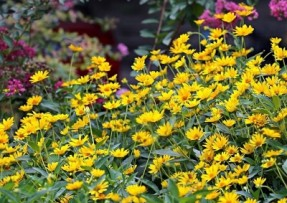 [金光菊]金光菊种子价格_图片_播种方法