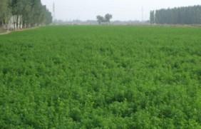紫花苜蓿好养殖吗,大面积种植经济效