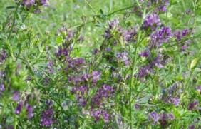紫花苜蓿的种子价格,哪里有卖呢