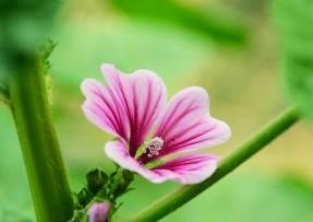 [锦葵]锦葵种子价格_图片_播种方法