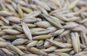 燕麦怎么种植,这样种植可以大大增加