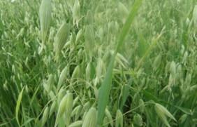 燕麦种植困难吗,掌握技巧生长的很快