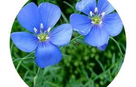 蓝花亚麻种子