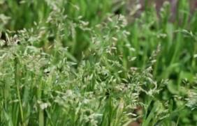 早熟禾(草坪种子)—— 纪念布劳格