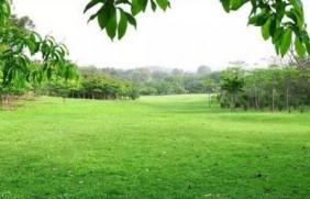 早熟禾草坪种子特点介绍以及鸟巢性