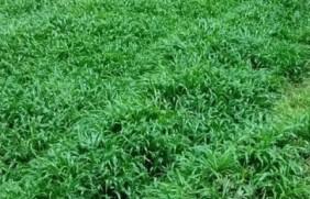 南方暖季型草坪种子——宽叶雀稗