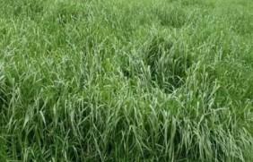 墨西哥玉米种子播种方法以及种植步