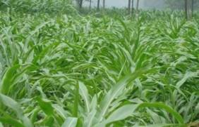 墨西哥玉米草种植管理与栽培方法