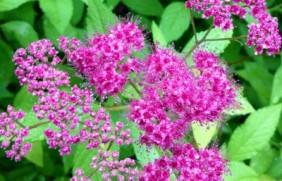 绣线菊种子