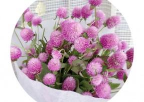 [千日粉]千日粉种子价格_图片_播种方法
