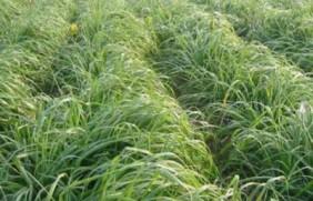 一年生黑麦草牧草种子适应性强,易种