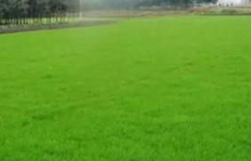 一年生黑麦草的品种优势及如何选择