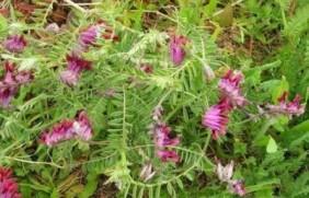牧草养猪---光叶紫花苕栽培管理与