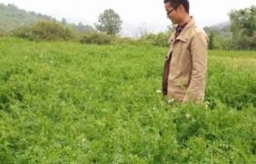 紫花苕种植技术与播种前处理方法