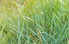 绿化草坪碱茅草的种植方法以及经济