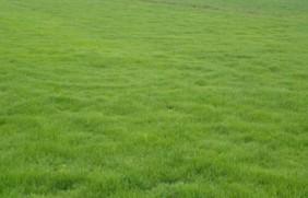 碱茅草种子种植方法是什么,发芽率怎