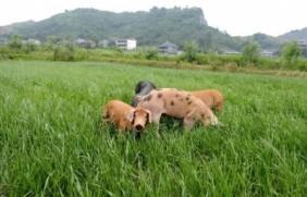 易种植的多年生黑麦草种植方法详情