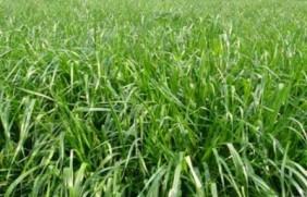 多年生黑麦草是什么?多年生黑麦草的