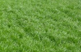 一年生黑麦草种植技术与播种方法