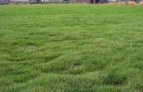 优质草坪草早熟禾的技术特点,种植养