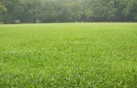 碱茅草怎么种植,提高产量的方法如下