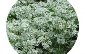 银边翠种子