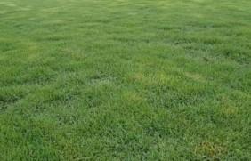 结缕草草坪草的经济价值及其种植管