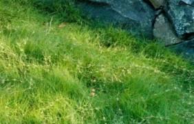 野牛草优点优势有哪些,野牛草有着非
