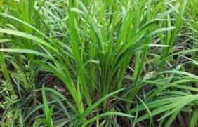 优质牧草——披碱草,具有不同的经济