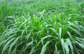种植墨西哥玉米草必须要了解的事情
