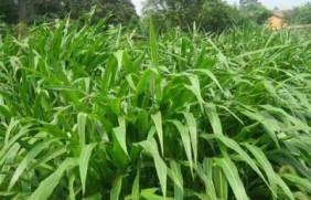 每亩播种多少墨西哥玉米牧草最好