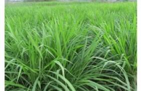 优质牧草墨西哥玉米草适合在哪里种