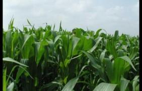有一种草叫墨西哥玉米草,最适合农村