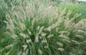狼尾草种植技术是什么,有什么需要注