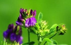 紫花苜蓿草如何种植,紫花苜蓿种植需