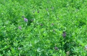 紫花苜蓿的市场批发价格以及播种方