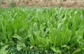 鲁梅克斯牧草的优缺点都有哪些?需要