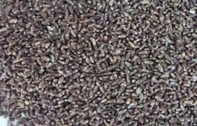 黑小麦批发价格多少钱一斤?黑小麦种