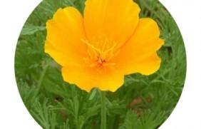 三色旋花种子