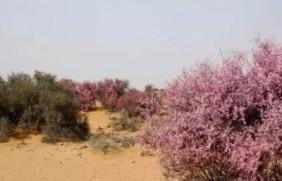 守护沙漠的花姑娘——花棒形态特征