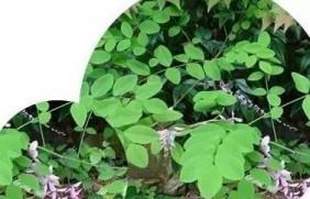 护坡灌木——多花木兰栽培要点