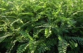 护坡灌木——紫穗槐的经济价值及应