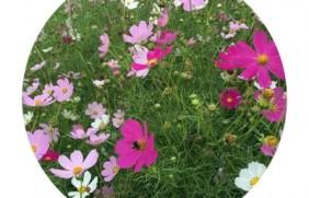 进口野花组合种子