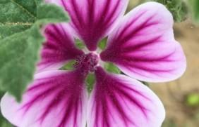 马洛葵种子