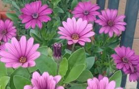 南非万寿菊种子